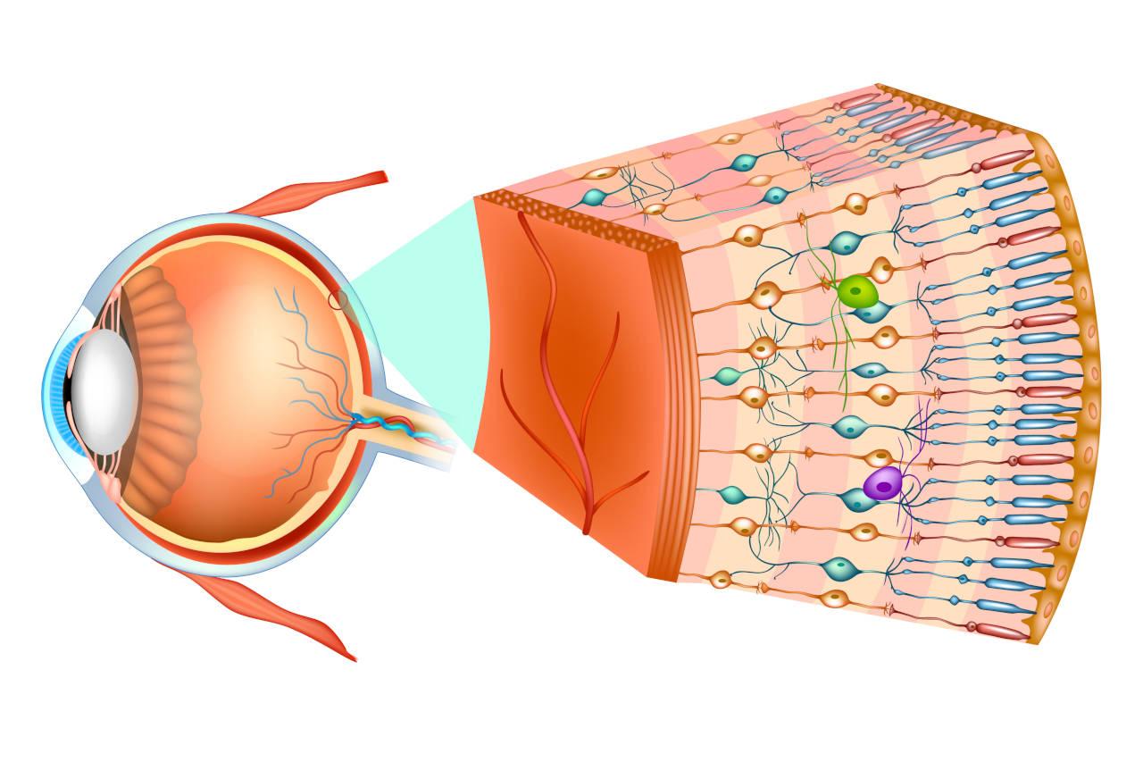 mrežnica, retina, makula